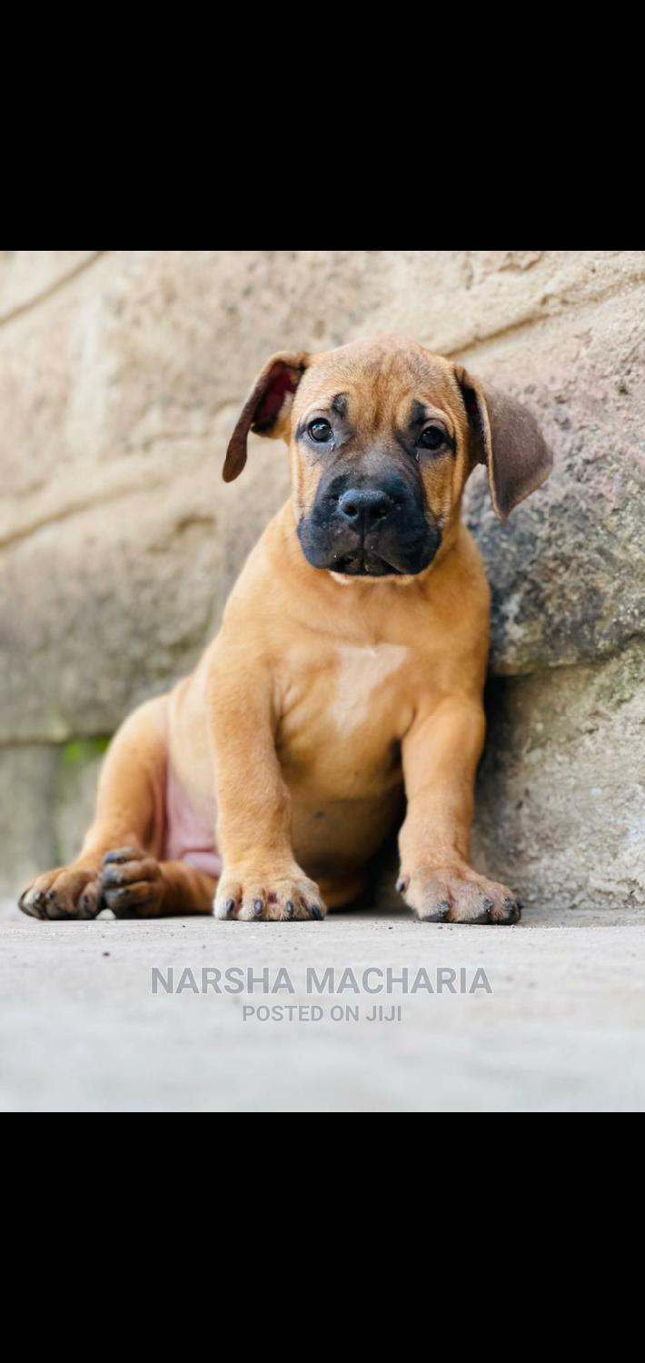 1-3 Month Male Purebred Boerboel   Dogs & Puppies for sale in Nairobi Central, Nairobi, Kenya