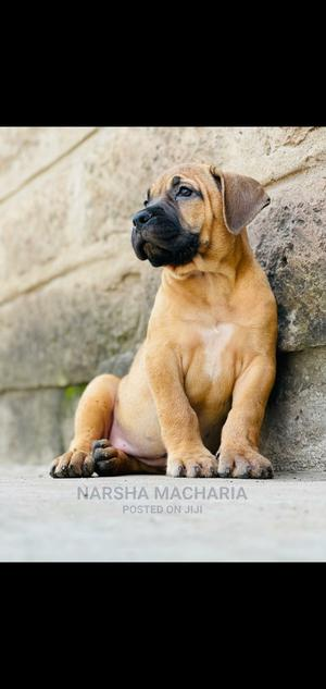 1-3 Month Male Purebred Boerboel   Dogs & Puppies for sale in Nairobi, Nairobi Central