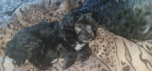 1-3 Month Male Mixed Breed Maltese   Dogs & Puppies for sale in Nyeri, Nyeri Town
