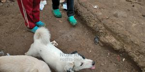 3-6 Month Female Purebred Samoyed   Dogs & Puppies for sale in Nairobi, Nairobi Central