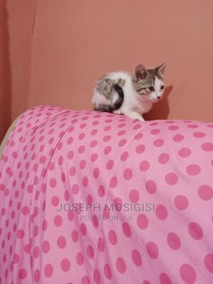 1-3 Month Female Purebred American Shorthair   Cats & Kittens for sale in Kisii, Kisii CBD