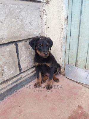 1-3 Month Male Purebred Rottweiler   Dogs & Puppies for sale in Uasin Gishu, Eldoret CBD