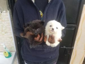 1-3 Month Female Purebred Japanese Spitz | Dogs & Puppies for sale in Kiambu, Ruiru