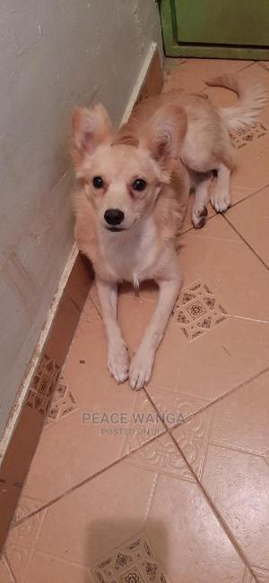 6-12 Month Female Mixed Breed Japanese Spitz | Dogs & Puppies for sale in Nairobi, Kasarani