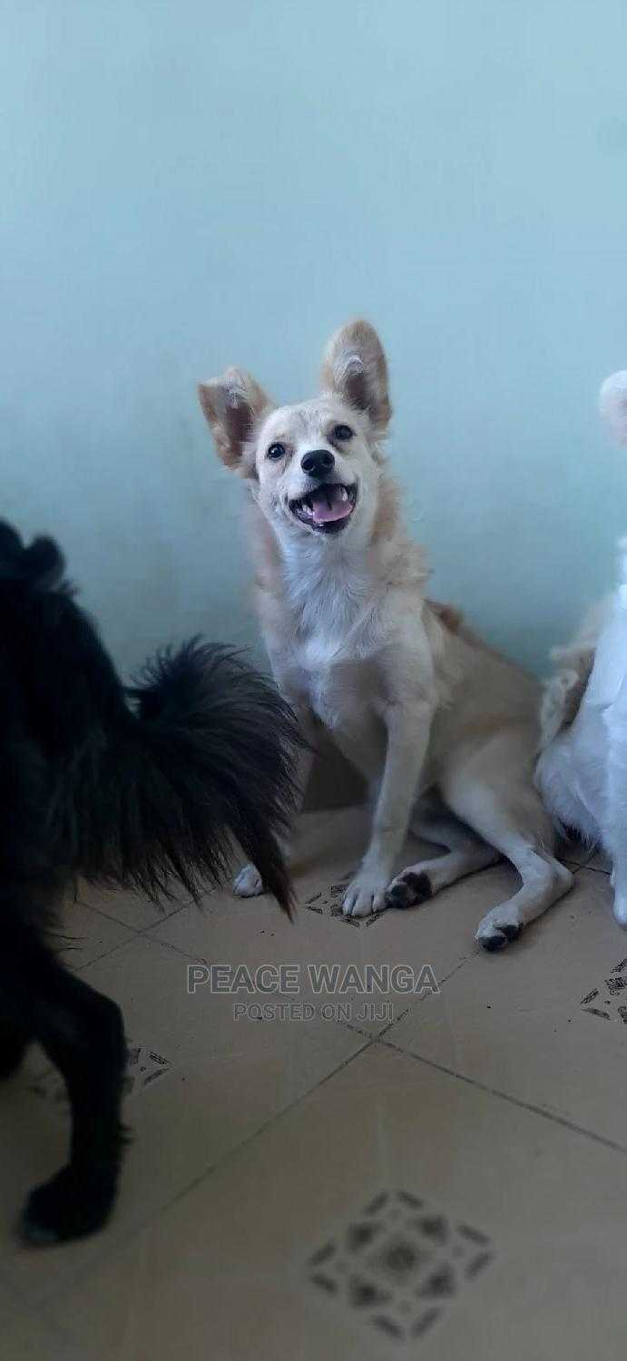 6-12 Month Female Mixed Breed Japanese Spitz   Dogs & Puppies for sale in Kasarani, Nairobi, Kenya