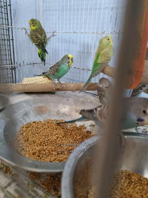 Budgies Parrots   Birds for sale in Mombasa, Mvita