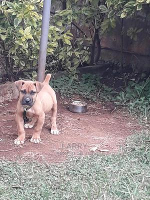 1-3 month Male Purebred Boerboel | Dogs & Puppies for sale in Nairobi, Karen