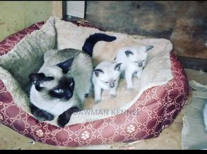 1-3 Month Male Purebred Siamese   Cats & Kittens for sale in Nairobi, Nairobi Central