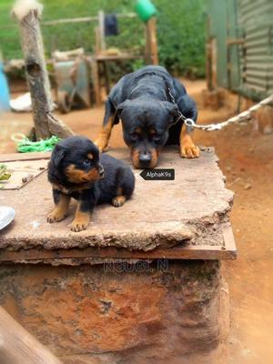 1-3 Month Male Purebred Rottweiler   Dogs & Puppies for sale in Kiambu, Kabete