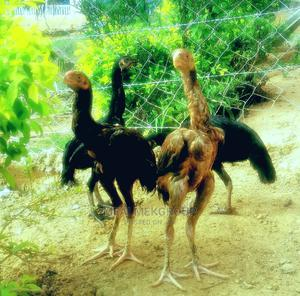 Mfalme Parot Beak Kuchi   Livestock & Poultry for sale in Mombasa, Nyali