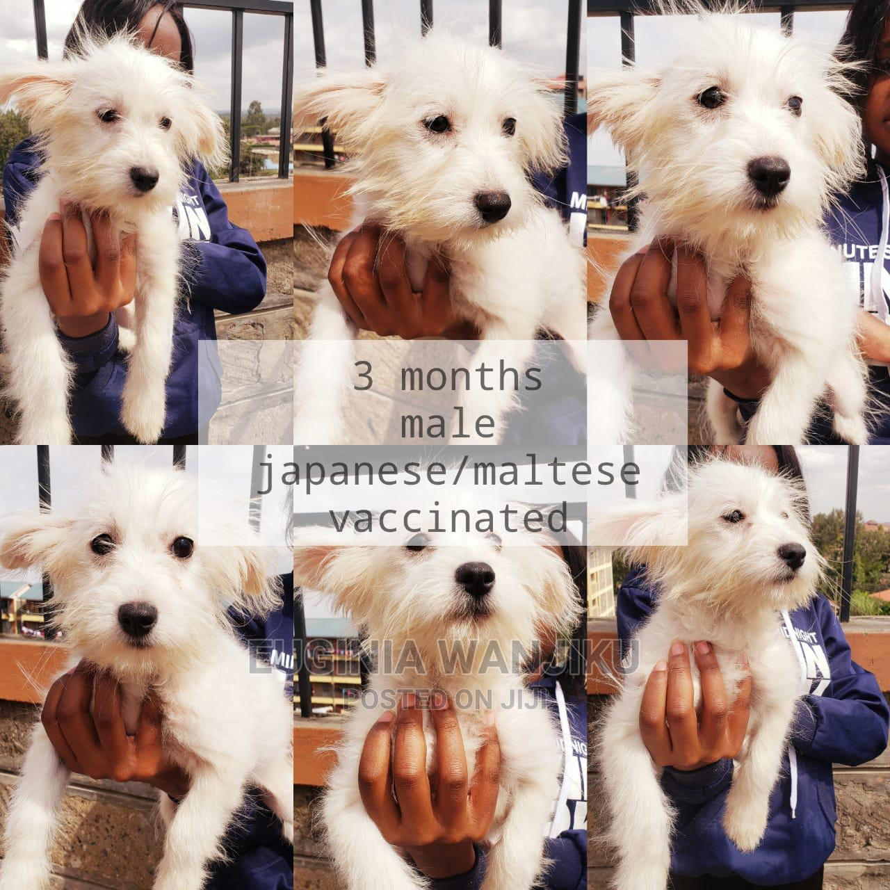 Archive: 3-6 Month Female Mixed Breed Japanese Spitz