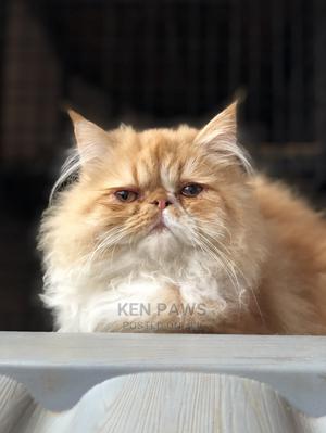 1-3 Month Male Purebred Persian   Cats & Kittens for sale in Kiambu, Ruiru