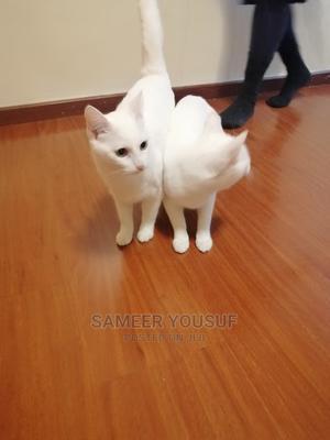 1+ Year Female Purebred Turkish Angora | Cats & Kittens for sale in Nairobi, Kilimani