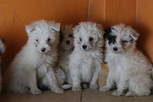 1-3 Month Female Purebred Maltese | Dogs & Puppies for sale in Nairobi, Utawala