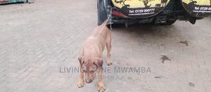 3-6 Month Female Purebred Boerboel | Dogs & Puppies for sale in Nairobi, Utawala