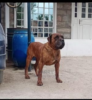 1-3 Month Female Purebred Boerboel   Dogs & Puppies for sale in Nairobi, Karen