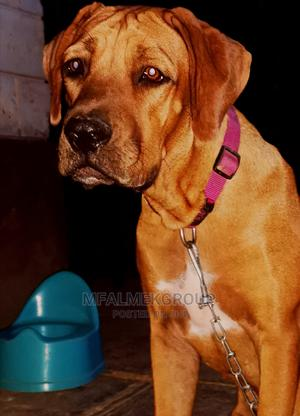 3-6 Month Male Purebred Boerboel | Dogs & Puppies for sale in Mombasa, Nyali