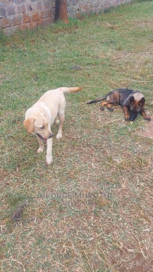 6-12 Month Female Mixed Breed Labrador Retriever | Dogs & Puppies for sale in Kiambu, Kiambu / Kiambu