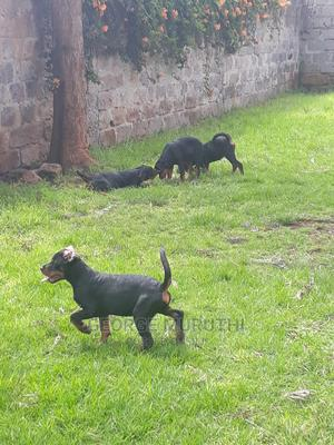 6-12 Month Female Mixed Breed Rottweiler | Dogs & Puppies for sale in Kiambu, Rosslyn