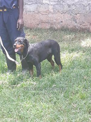 6-12 Month Male Mixed Breed Rottweiler   Dogs & Puppies for sale in Kiambu, Thika