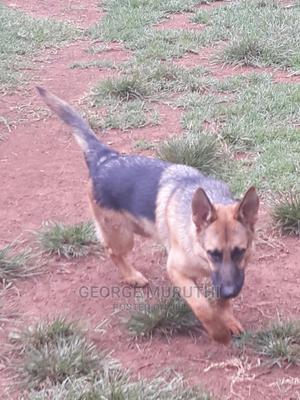 6-12 Month Male Mixed Breed German Shepherd   Dogs & Puppies for sale in Kiambu, Kiambu / Kiambu