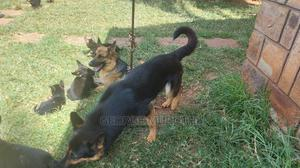6-12 Month Male Purebred German Shepherd   Dogs & Puppies for sale in Kiambu, Thika