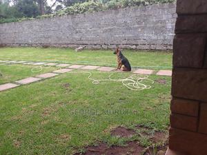 6-12 Month Female Mixed Breed German Shepherd | Dogs & Puppies for sale in Kiambu, Rosslyn