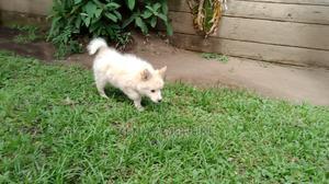 1-3 Month Female Mixed Breed Japanese Spitz | Dogs & Puppies for sale in Nakuru, Nakuru Town East