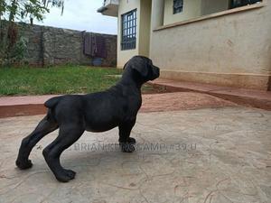 1-3 Month Male Purebred Boerboel   Dogs & Puppies for sale in Kiambu, Ruiru