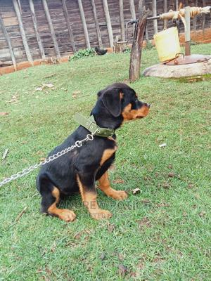 3-6 Month Female Purebred Rottweiler | Dogs & Puppies for sale in Trans-Nzoia, Kitale
