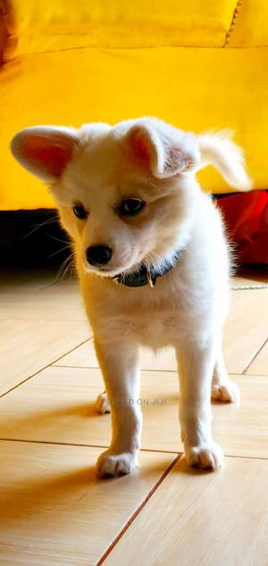 3-6 Month Male Purebred Chihuahua | Dogs & Puppies for sale in Nairobi, Kahawa