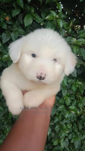 1-3 Month Female Mixed Breed Maltipoo | Dogs & Puppies for sale in Nairobi, Nairobi Central