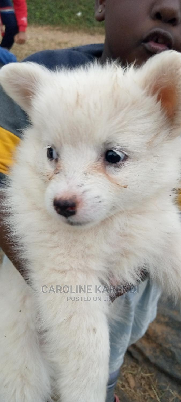 1-3 Month Female Mixed Breed Chihuahua | Dogs & Puppies for sale in Thika, Kiambu, Kenya