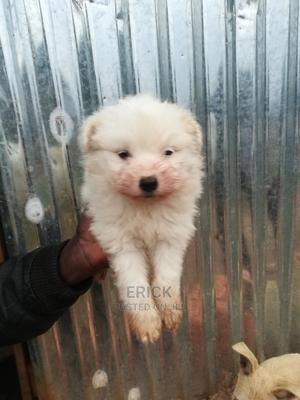 1-3 Month Male Purebred Maltese | Dogs & Puppies for sale in Nairobi, Nairobi Central