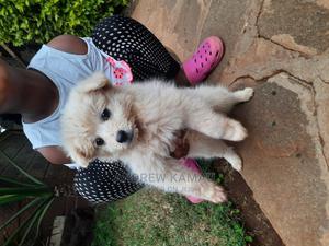 3-6 Month Female Purebred Japanese Spitz   Dogs & Puppies for sale in Kiambu, Juja
