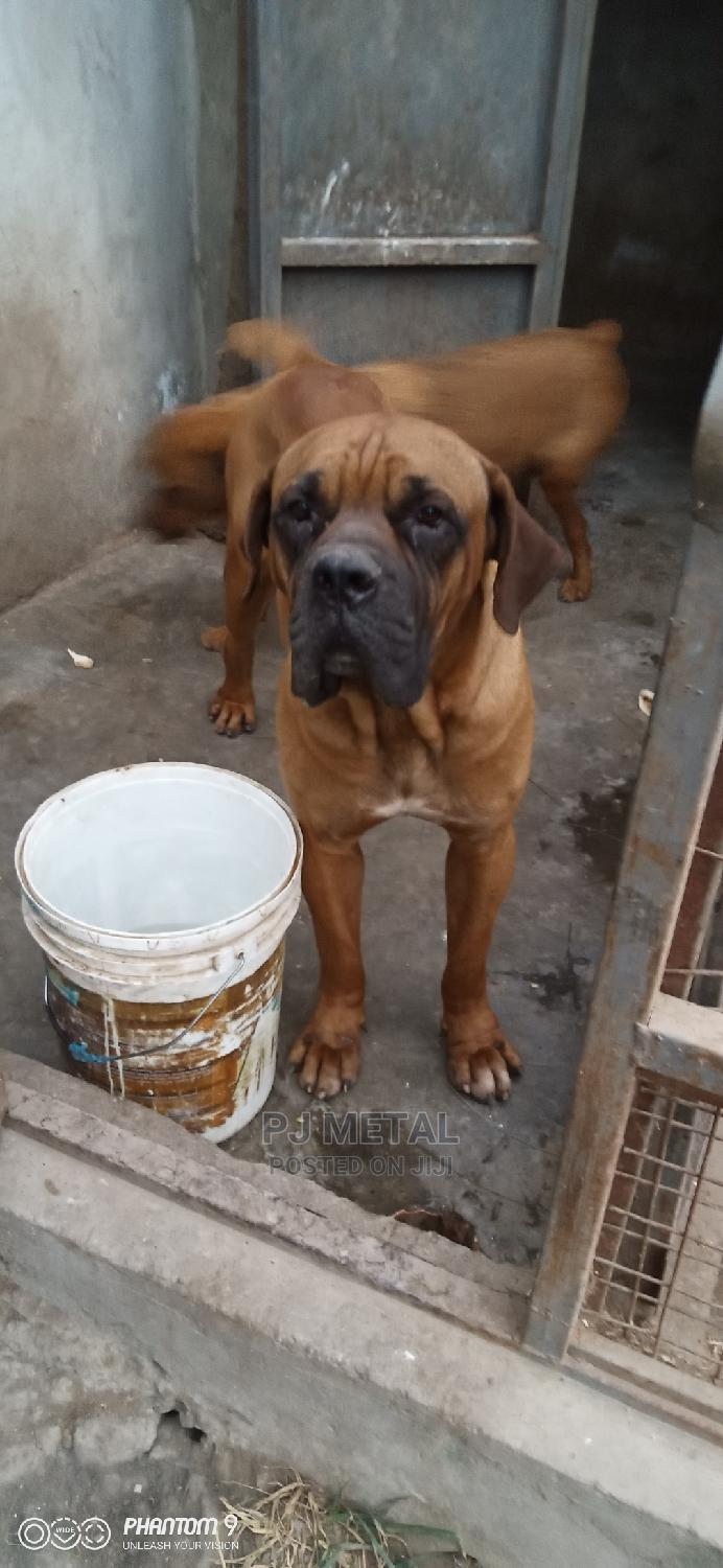 Archive: 1-3 Month Female Mixed Breed Boerboel