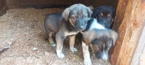 1-3 Month Male Mixed Breed Dog   Dogs & Puppies for sale in Uasin Gishu, Eldoret CBD