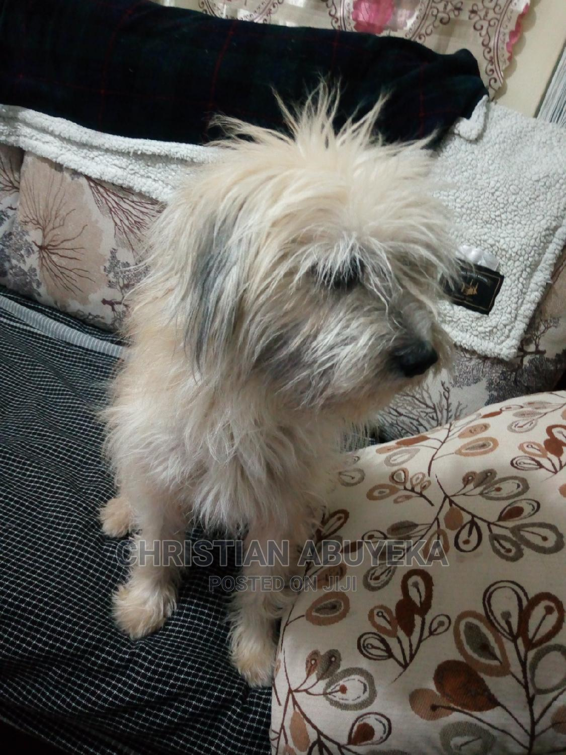 Archive: 1-3 Month Female Mixed Breed Maltese