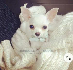 6-12 Month Male Purebred Chihuahua | Dogs & Puppies for sale in Kajiado, Ongata Rongai