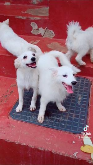 6-12 Month Male Mixed Breed Maltese   Dogs & Puppies for sale in Kiambu, Kikuyu