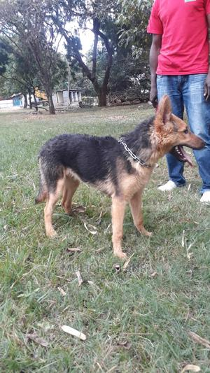 1-3 Month Female Mixed Breed German Shepherd | Dogs & Puppies for sale in Nairobi, Nairobi West