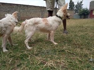 6-12 Month Female Mixed Breed Japanese Spitz | Dogs & Puppies for sale in Nairobi, Kahawa