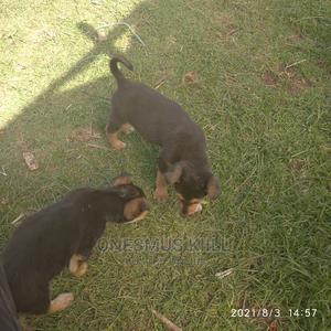 1-3 Month Male Purebred German Shepherd | Dogs & Puppies for sale in Nakuru, Njoro