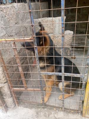 6-12 Month Male Purebred German Shepherd   Dogs & Puppies for sale in Nairobi, Embakasi