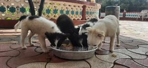 1-3 Month Male Purebred Japanese Spitz | Dogs & Puppies for sale in Nakuru, Lanet