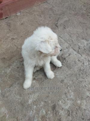 1-3 Month Male Mixed Breed Maltese   Dogs & Puppies for sale in Kiambu, Juja