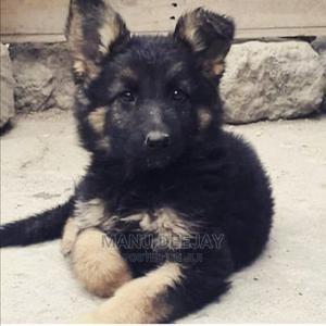 1-3 Month Male Purebred German Shepherd   Dogs & Puppies for sale in Nairobi, Embakasi