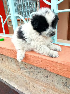 1-3 Month Female Mixed Breed Border Collie | Dogs & Puppies for sale in Kajiado, Ngong