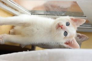 1-3 Month Male Mixed Breed American Shorthair | Cats & Kittens for sale in Nairobi, Langata