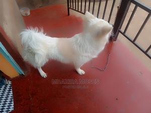 6-12 Month Male Mixed Breed Maltese | Dogs & Puppies for sale in Nairobi, Karen